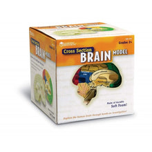 Load image into Gallery viewer, Cross Section Human Brain Model