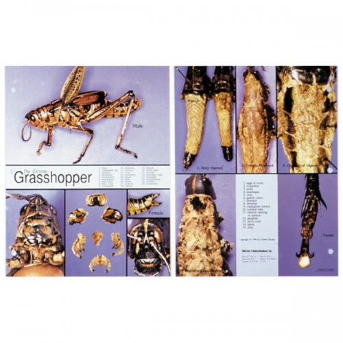Concise Dissection Chart: Grasshopper
