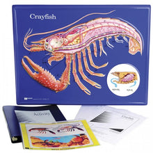 Load image into Gallery viewer, Crayfish Model Activity Set