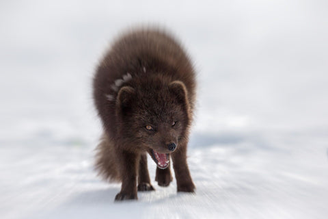 Capturing the Decisive moment: An arctic fox is howling