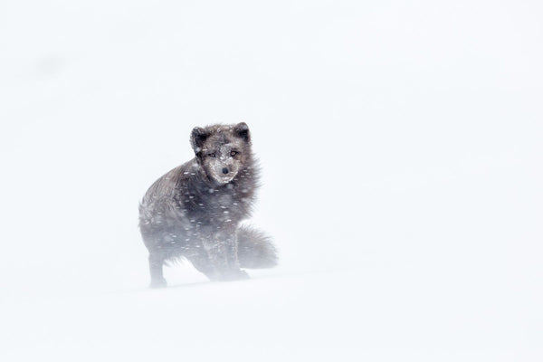 The wind blows the coat of an arctic fox