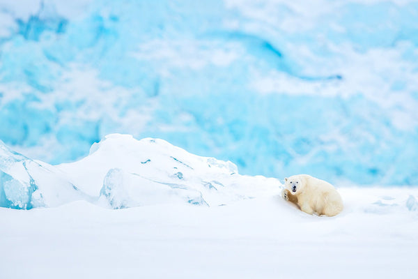 A polar bear in front of an iceberg in Svalbard by Joshua Holko