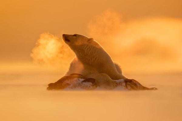 Capturing the decisive moment: A polar bear looks to the side with its breath hanging in the air