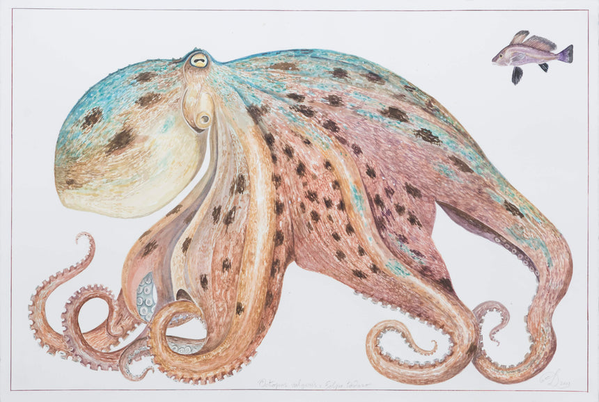 Octopus vulgaris ~ Original watercolour on Arches paper, 40x60cm