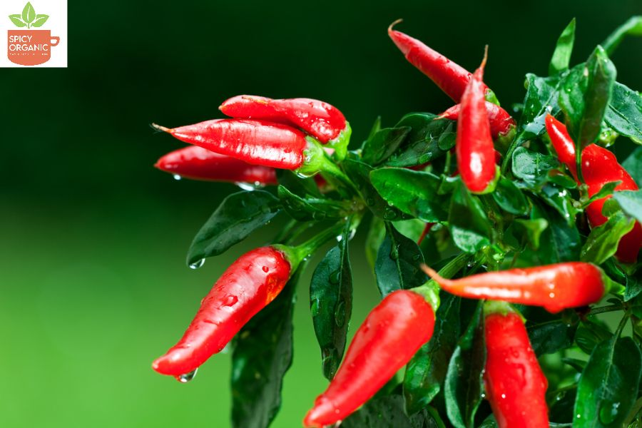 How Different are the tastes of Red Paprika and Red Chilli Powder?