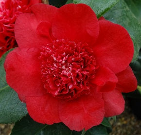 Camellia jap 'Ruby Wedding' 1l