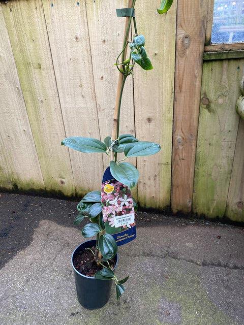 Clematis Armandii Apple Blossom 3l (Evergreen)