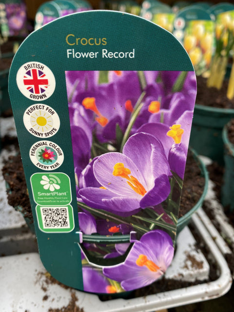 Potted Bulb - Crocus Flower Record 1Ltr