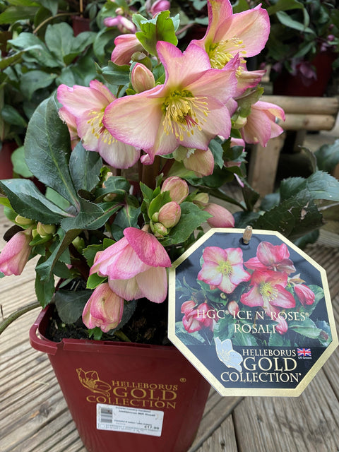 Helleborus Ice N' Roses 3l (Gold Collection)