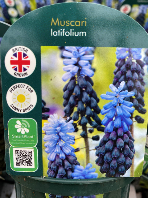 Potted Bulb - Muscari latifolium 9cm