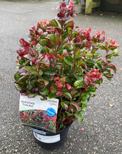 Leucothoe axillaris 'Curly Red' 2Ltr (Switch Ivy)