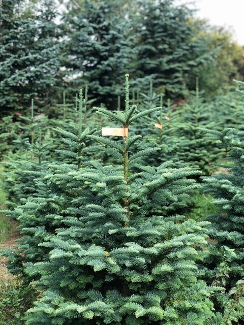 Noble Fir Christmas Tree 6-7ft
