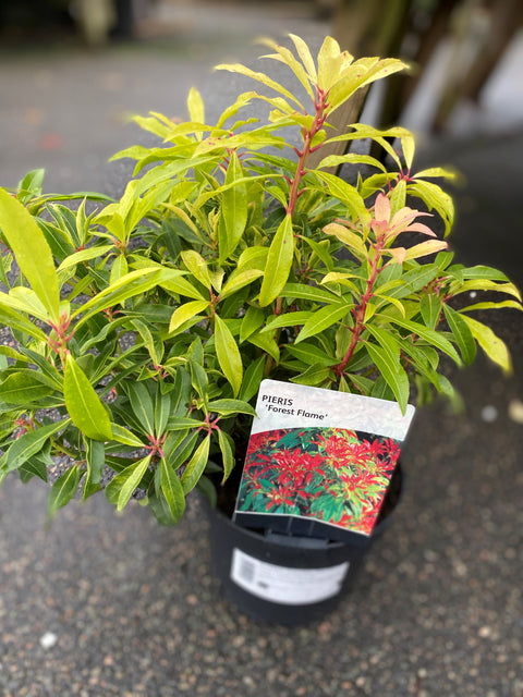Pieris 'forest flame' 2l (Lilly-of-the-valley shrub)