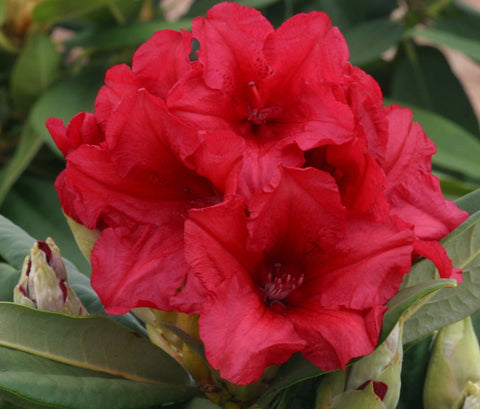 Rhododendron Dopey 3L