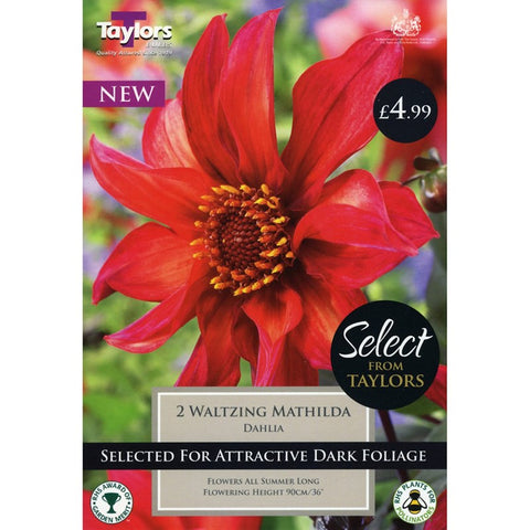 Select Premium Dahlia Waltzing Mathilda