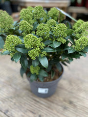 Skimmia Japonica Fragrant Cloud 5l