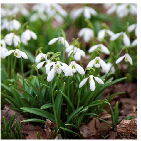 Snowdrops Collection - NOW JUST £28!