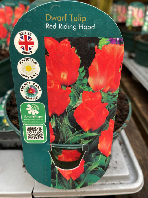 Potted Bulb - Dwarf Tulip Red Riding Hood 1Ltr