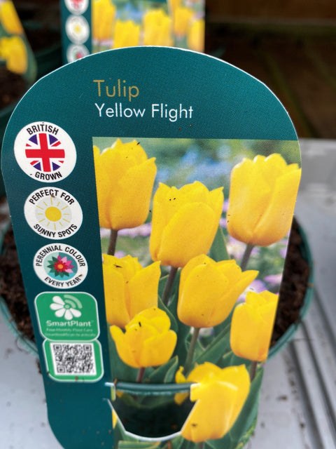 Potted Bulb - Tulip Yellow Flight1Ltr
