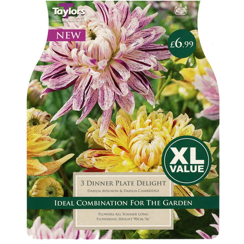 XL Dahlia Dinnerplate Delight