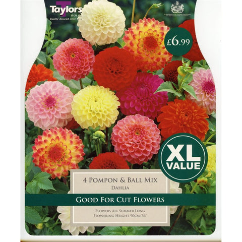 XL Dahlia Pompon & Ball Mixed