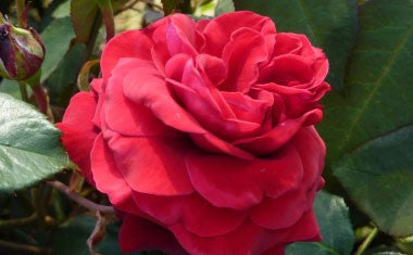 Rose - Hybrid Tea - Royal William 4L