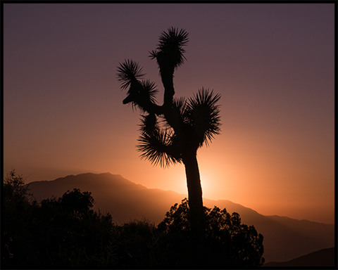 A poster of a Joshua Tree against a vibrant sunset in California.