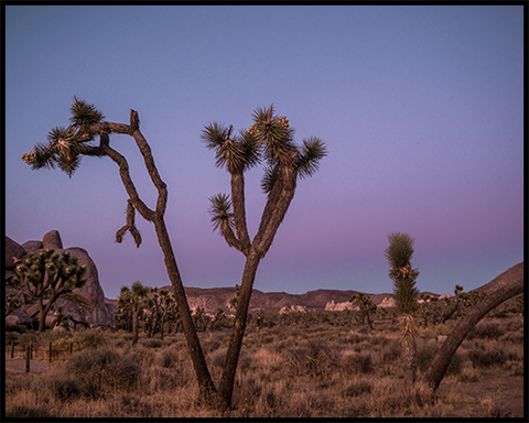 A poster of a valley filled with Joshua Trees against a blue and purple sunset sky.