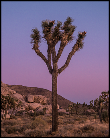 This poster features a tall Joshua Tree in the desert against a blue and purple-colored sunset sky.