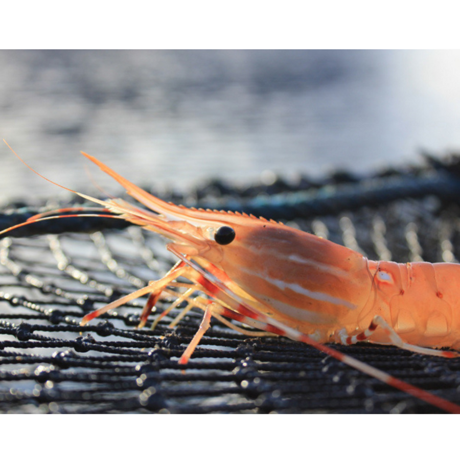 Wild BC Spot Prawn Tails - Ocean Organic *Limited Amount*