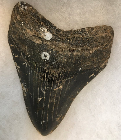 Megalodon Tooth 3""