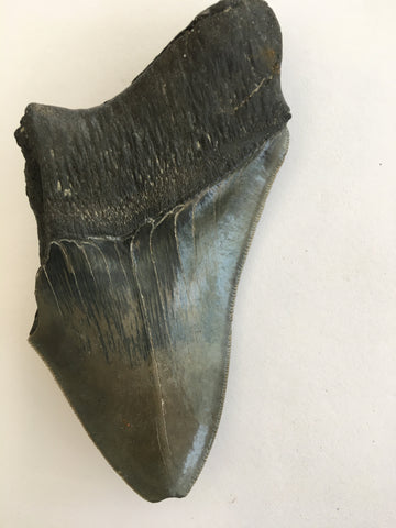 Megalodon Tooth 4""