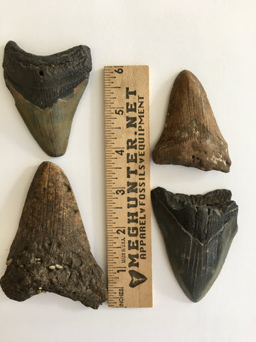 Megalodon teeth combo set