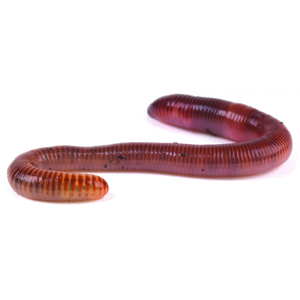 Monkfield Earthworms 50-75mm - Reptiles UK