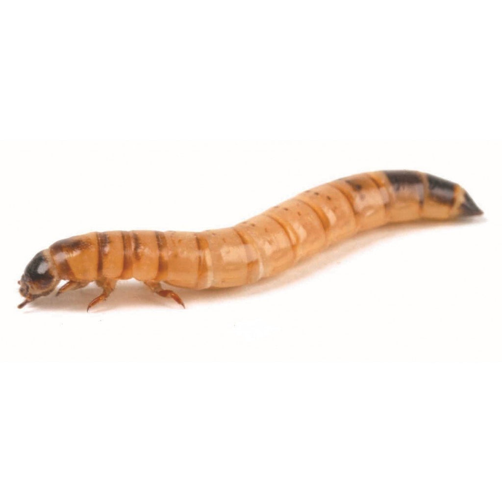 Monkfield Morioworms 40-50mm - Reptiles UK