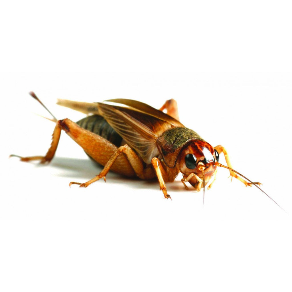 Monkfield Silent Crickets Standard 18-25mm - Reptiles UK