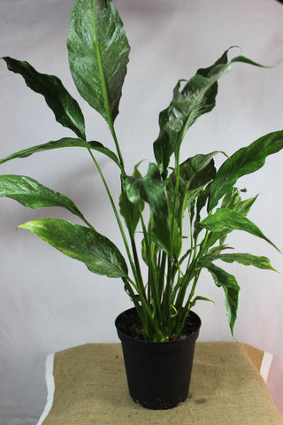 Spathiphyllum 'Domino' Peace Lily-Botanical Jewels