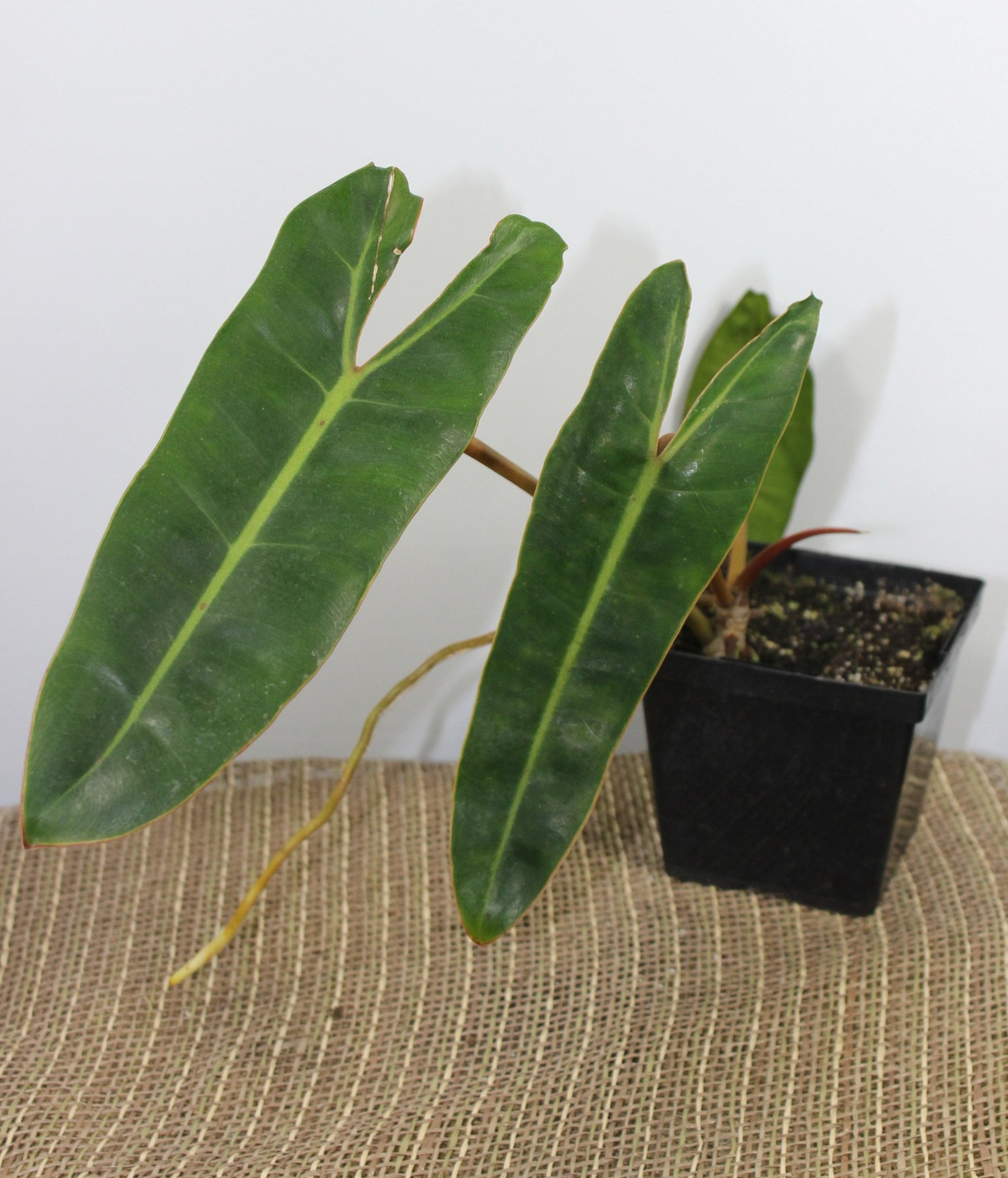 Philodendron billietiae-Botanical Jewels