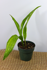Aspidistra elatior 'Milky Way' (Cast Iron Plant)-Botanical Jewels