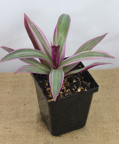 Tradescantia spathacea 'Tricolour'-Botanical Jewels