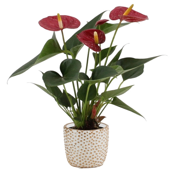 Anthurium Diamond Red D9cm x H32cm