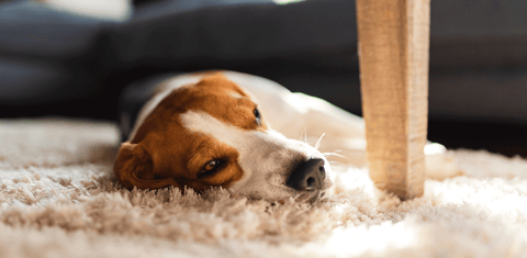 Sleeping dog image from 5 Signs your dog is struggling to sleep & how to fix it with the Iremia Dog Bed from PetsPlanet, South Africa's No.1 ePet Store