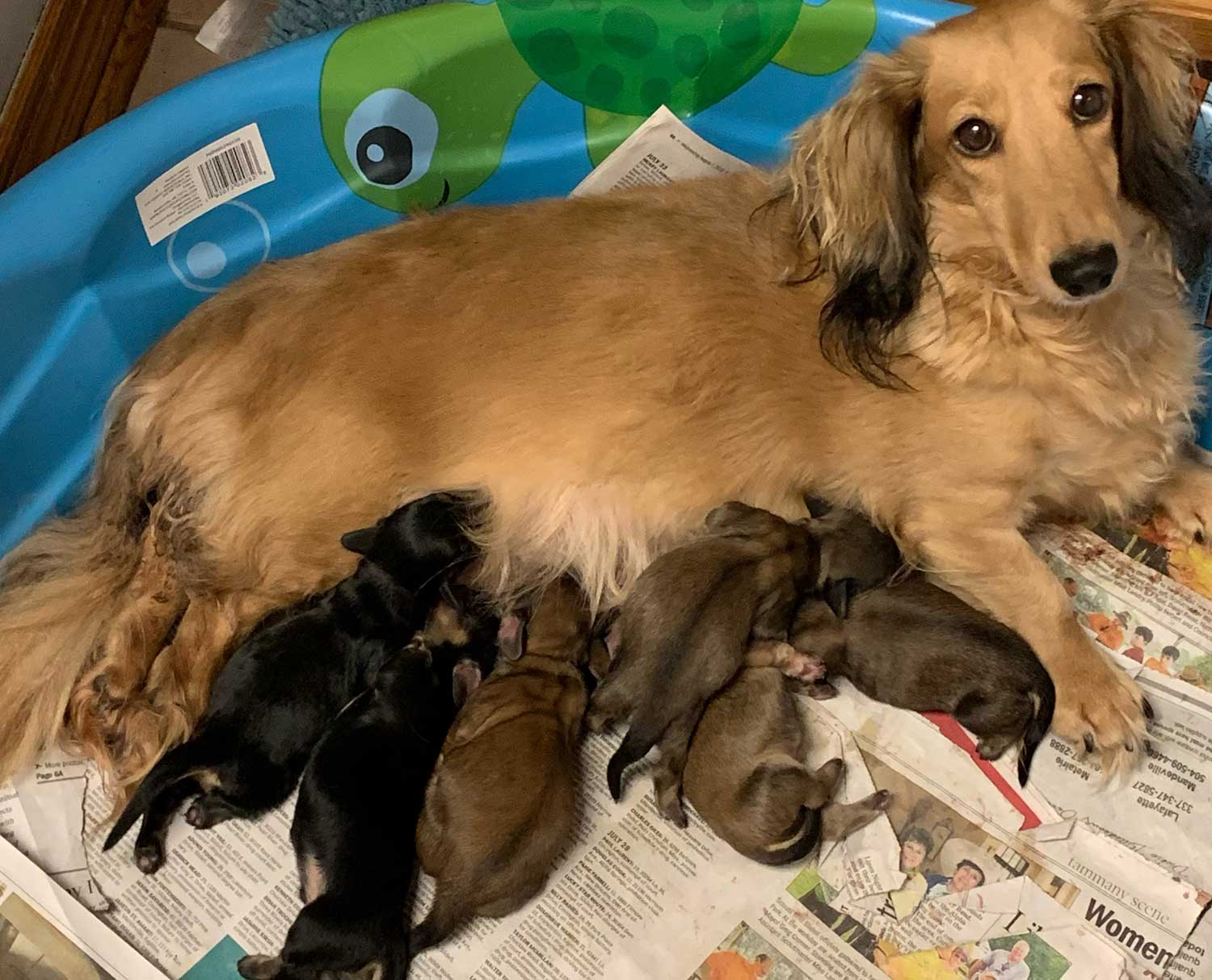Splendor Farms Available Dachshunds Puppies and Young Adults