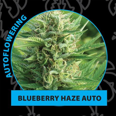Blueberry haze autoflower