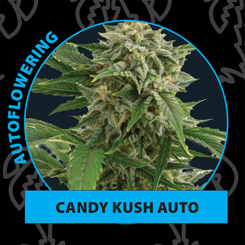 Candy kush autoflower