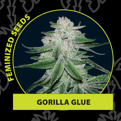 Gorilla glue feminized