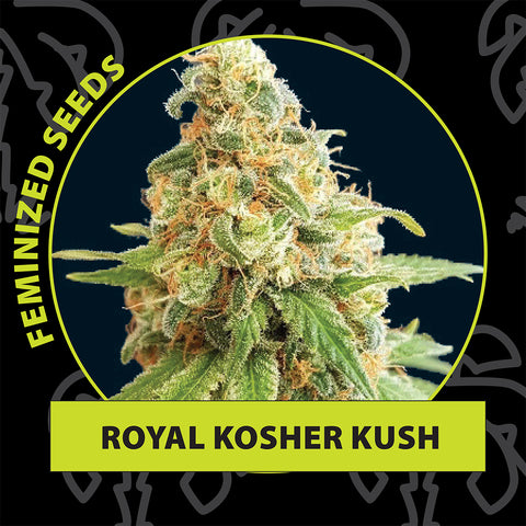 Royal kosher kush feminized