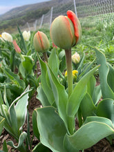 Load image into Gallery viewer, Market Bouquet of Tulips - Farmer's Choice