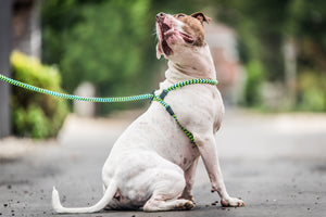Peacock (Blue/Lime) Harness Lead