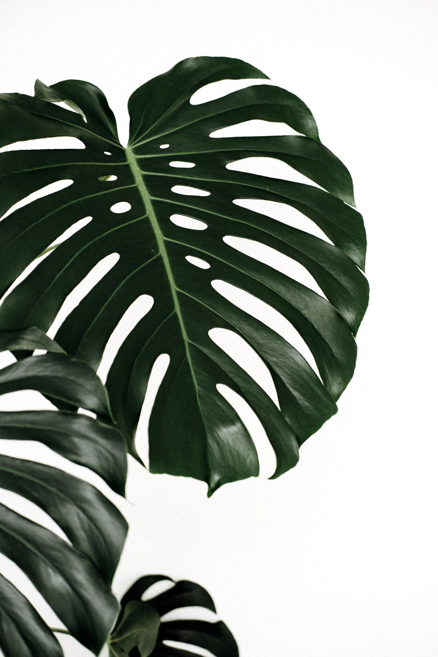 Prints — Monstera